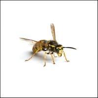 Hvepsefælder