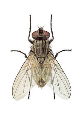 stuefluen